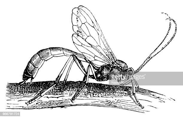 ichneumon-fly,parasite wasp - wasp stock illustrations, clip art, cartoons, & icons