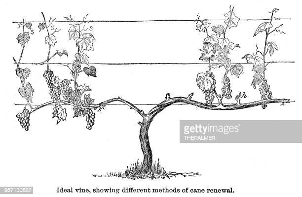ideal vine engraving 1896 - vine stock illustrations