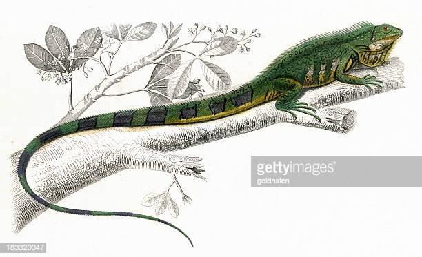 ilustraciones, imágenes clip art, dibujos animados e iconos de stock de iguana ilustración, 1849, histórico - iguana