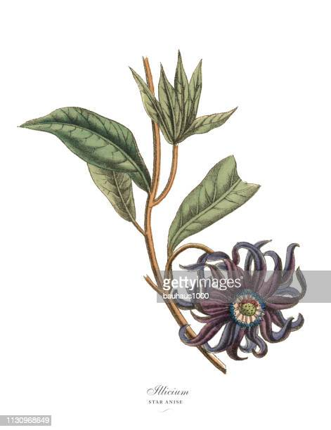 シキミまたはスターアニス工場、ヴィクトリア朝の植物のイラスト - スターアニス点のイラスト素材/クリップアート素材/マンガ素材/アイコン素材