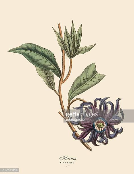 Illicium o anís estrellado planta, Victoriana Botánico ilustración