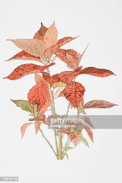 illustrations, cliparts, dessins animés et icônes de illustration, acalypha sp., red leaves of acalypha plant. - plante verte
