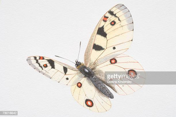 Illustration, Apollo (Parnassius apollo), white butterfly with red and black spots.
