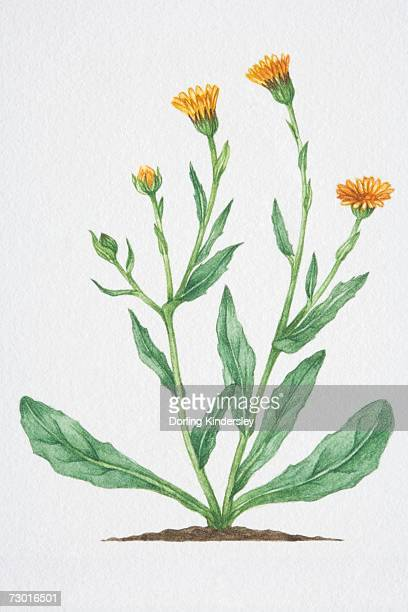illustration, calendula arvensis, field marigold, yellow ray-florets with narrow oblong leaves on stout branching stems. - ranunculus stock illustrations, clip art, cartoons, & icons