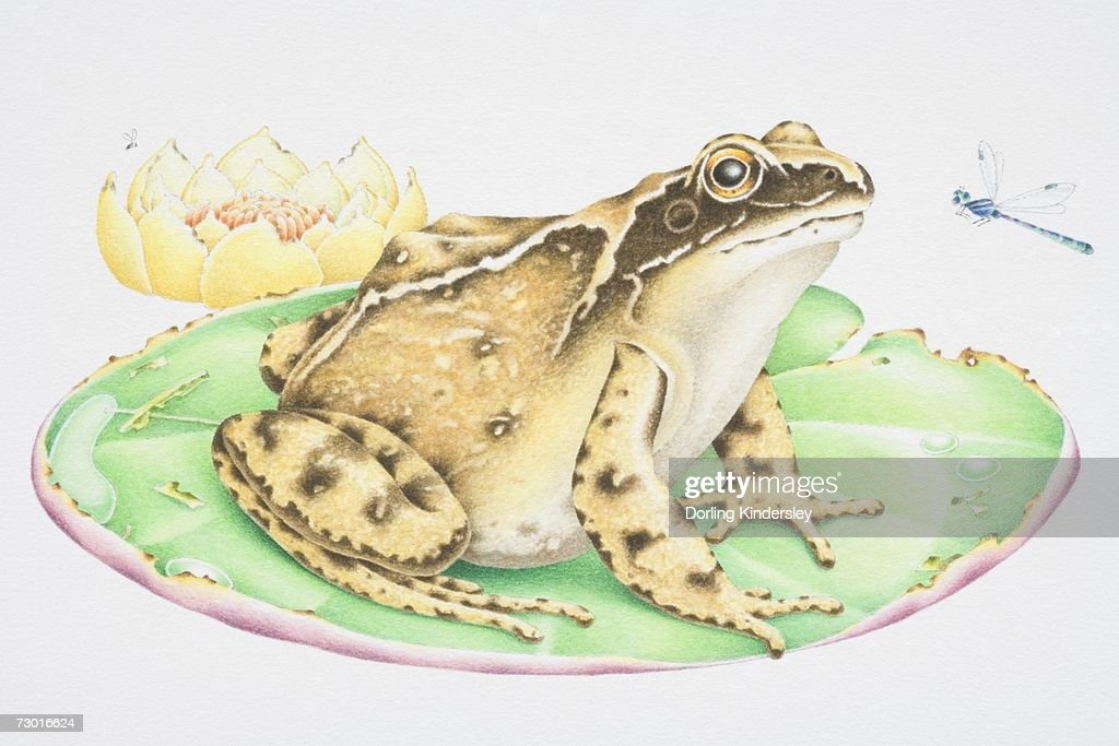 Illustration, Common Frog (Anura) perched on water lily leaf stalking Dragonfly (Odonata), side view. : stock illustration