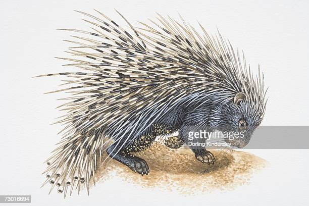 illustration, crested porcupine (hystrix cristata) digging in ground, side view. - one animal stock illustrations