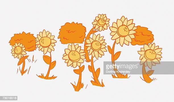 illustration in shades of orange, helianthus sp., seven sunflowers and three bushes in background. - perennial stock illustrations, clip art, cartoons, & icons
