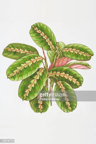 illustration, maranta leuconeura 'erythroneura', herringbone plant, oblong green leaves veined with red. - perennial stock illustrations, clip art, cartoons, & icons