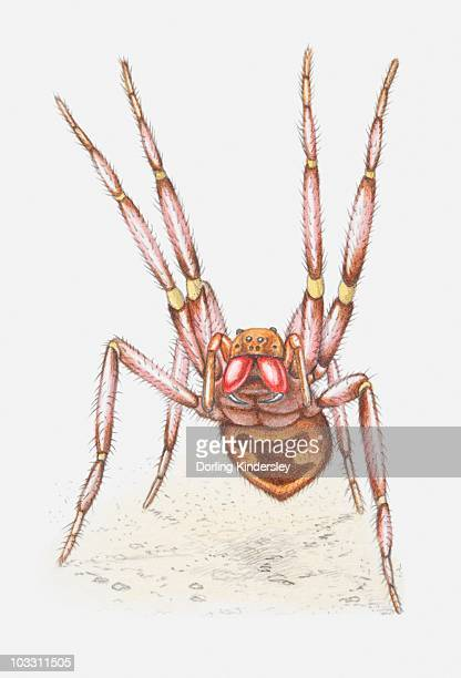 stockillustraties, clipart, cartoons en iconen met illustration of a brazilian wandering spider (phoneutria sp.) in defensive position with first two pairs of legs lifted high - braziliaanse zwerfspin