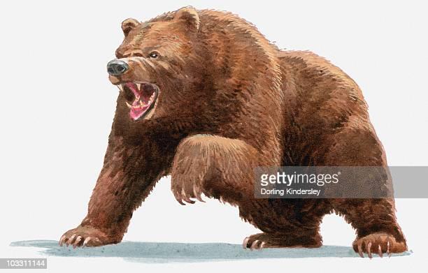 Illustration of a Brown bear (Ursus arctos) roaring
