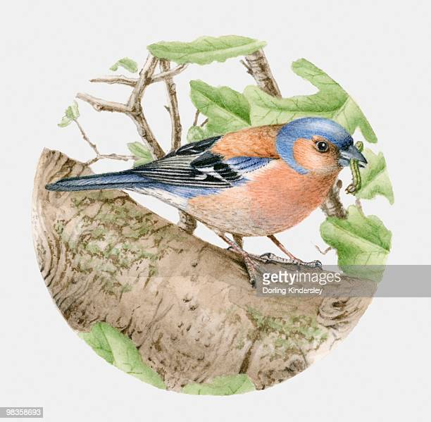 Illustration of a Chaffinch (Fringilla coelebs) with a worm in its beak, side view