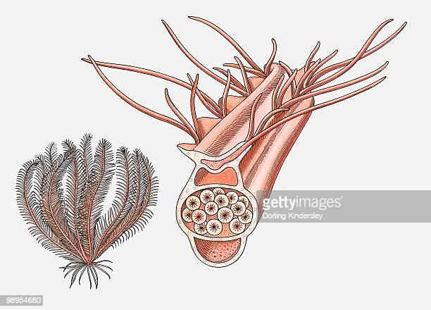 illustration of a feather star (crinoidea) and its reproductive pinnule - animal reproductive organ stock illustrations, clip art, cartoons, & icons