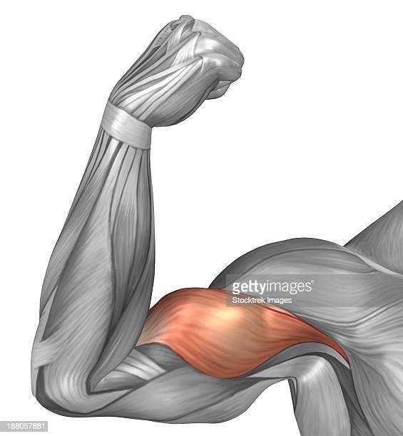 ilustraciones, imágenes clip art, dibujos animados e iconos de stock de illustration of a flexed arm showing bicep muscle. - músculo humano