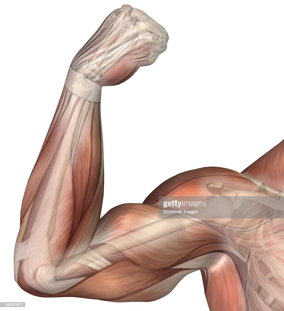 Illustration Of A Flexed Arm Showing Human Bicep Muscle Stock ...