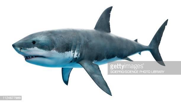 illustration of a great white shark - sea stock illustrations