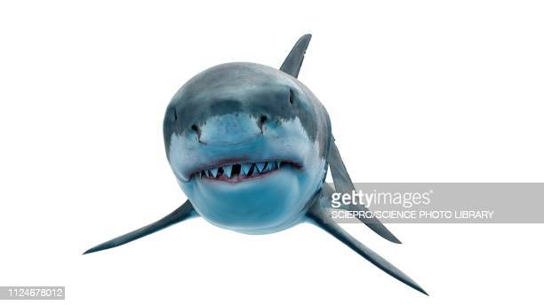 illustration of a great white shark - sharks stock illustrations