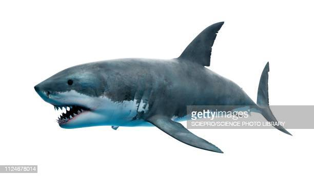 ilustraciones, imágenes clip art, dibujos animados e iconos de stock de illustration of a great white shark - ataque animal