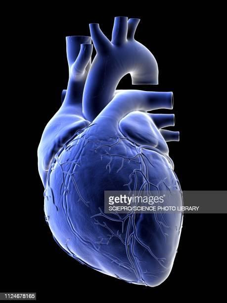 ilustrações de stock, clip art, desenhos animados e ícones de illustration of a human heart - parte do corpo humano