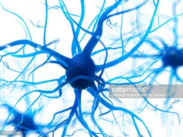 ilustraciones, imágenes clip art, dibujos animados e iconos de stock de illustration of a human nerverticale cell - cerebral nuclei