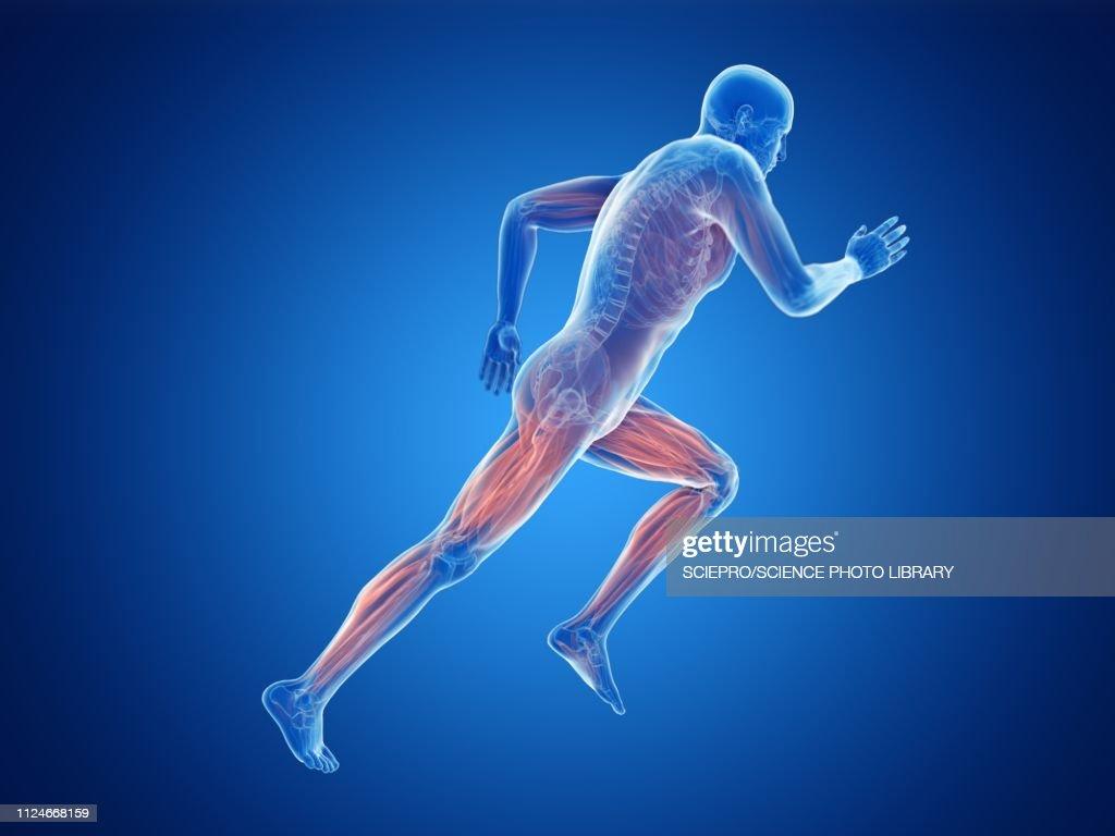 Illustration of a jogger's muscles : Ilustración de stock
