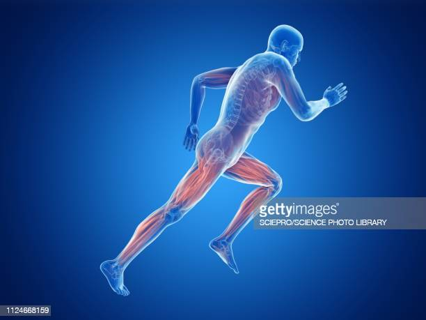 illustration of a jogger's muscles - braun stock illustrations
