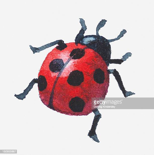 Illustration of a ladybird