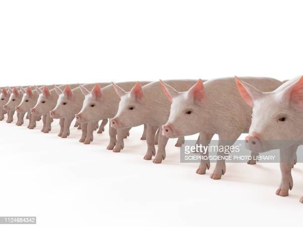 Illustration of a line of pigs