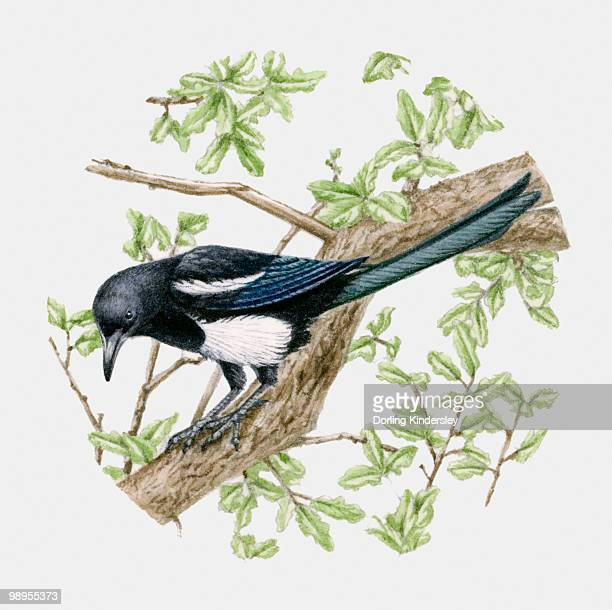 illustration of a magpie (pica pica) sitting on a tree - magpie stock illustrations