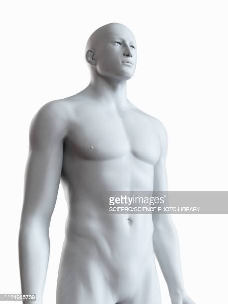 illustration of a male body - the human body stock illustrations