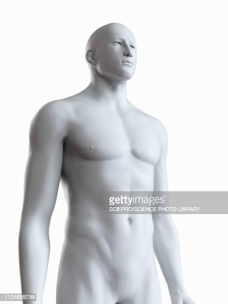 ilustraciones, imágenes clip art, dibujos animados e iconos de stock de illustration of a male body - cuerpo humano