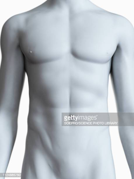 illustration of a male body - anatomy stock illustrations