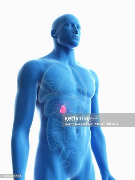 illustration of a man's gallbladder - human body part stock-grafiken, -clipart, -cartoons und -symbole