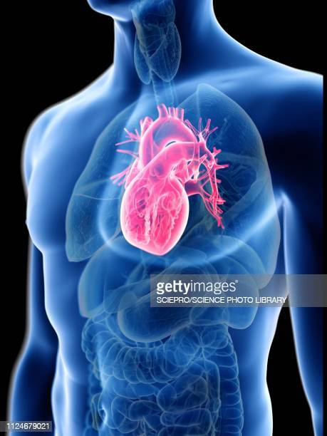illustration of a man's heart - cardiologist stock illustrations