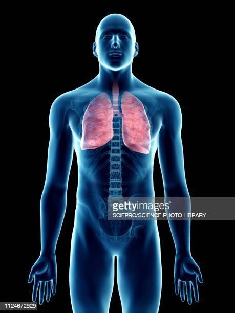ilustraciones, imágenes clip art, dibujos animados e iconos de stock de illustration of a man's lung - pulmones humanos
