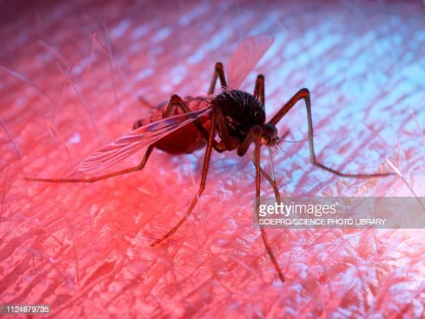 illustration of a mosquito on human skin - wildlife stock illustrations