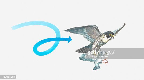 illustration of a peregrine falcon (falco peregrinus) catching a pigeon - peregrine falcon stock illustrations, clip art, cartoons, & icons
