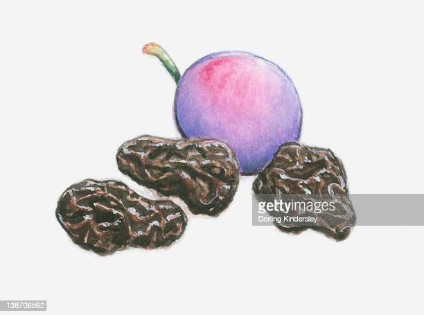 Illustration of a plum and three prunes