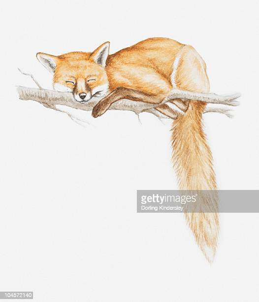 Illustration of a Red fox (Vulpes vulpes) asleep on a tree branch