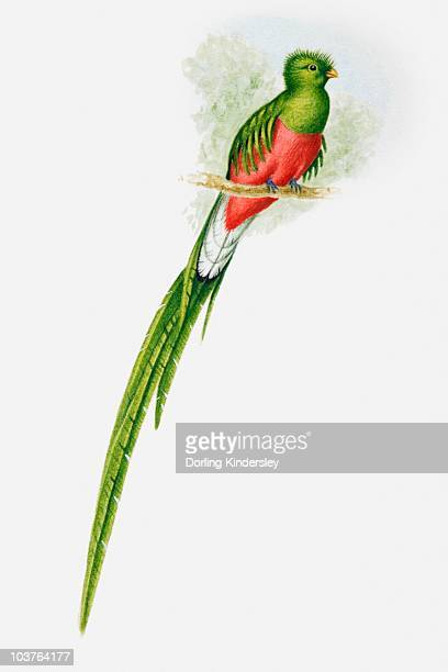 ilustraciones, imágenes clip art, dibujos animados e iconos de stock de illustration of a resplendent quetzal (pharomachrus mocinno) showing off its long tail - quetzal