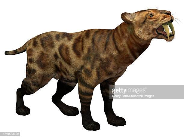 Illustration of a Smilodon Cat from the Cenozoic Era. Smilodon Cat lived in North America from the Eocene to Pleistocene Period and preyed on many large animals.
