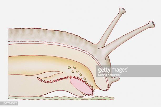 Illustration of a snail using its tongue (radula) to scrape up a leaf