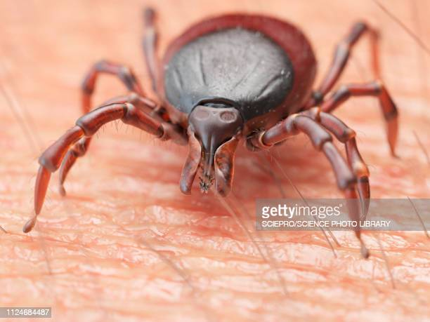 illustration of a tick crawling on human skin - insect stock illustrations