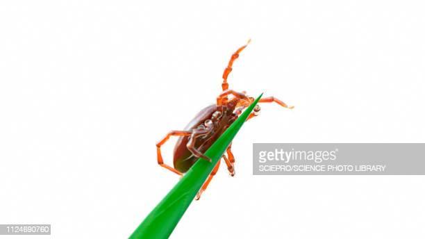 illustration of a tick on a blade of grass - ライム病点のイラスト素材/クリップアート素材/マンガ素材/アイコン素材