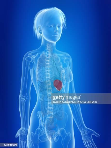illustration of a woman's spleen - spleen stock illustrations