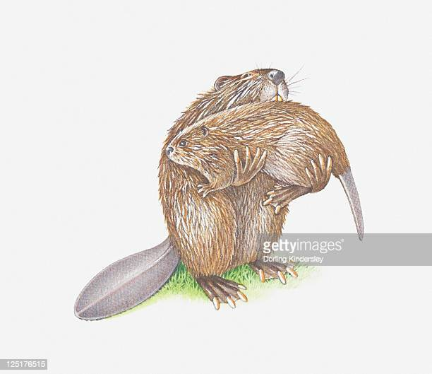 illustration of adult beaver carrying young - funny beaver stock illustrations