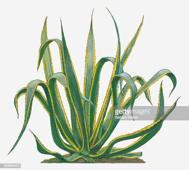 Illustration of Agave americana (Century Plant) with spiny yellow margin to green leaves and spiked tips