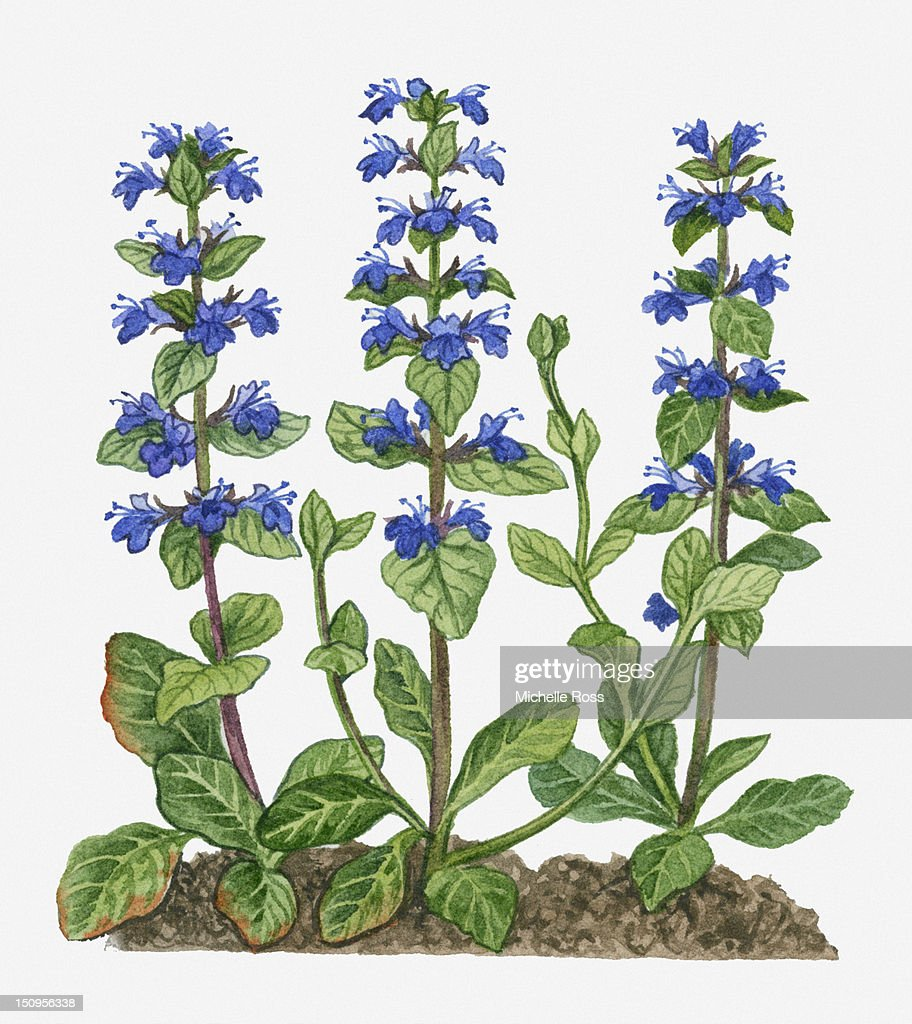Illustration Of Ajuga Reptans With Purple Flowers On Tall Stems