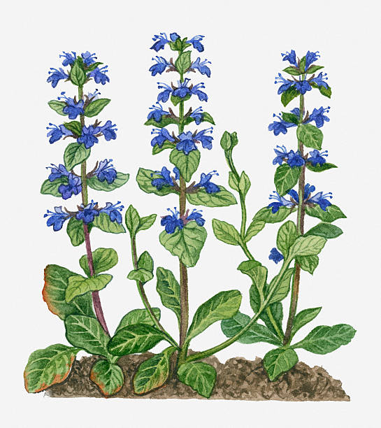 Illustration Of Ajuga Reptans (Blue Bugle) With Purple Flowers On Tall Stems Wall Art