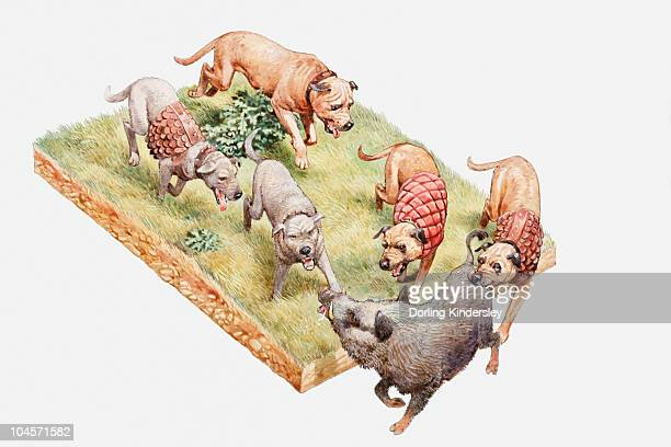 Illustration of Alaunt hunting dogs, some wearing protective coats, chasing wild boar