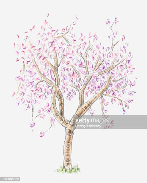 Illustration of almond tree in bloom